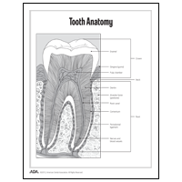 Tooth anatomy diagram (cross-section)