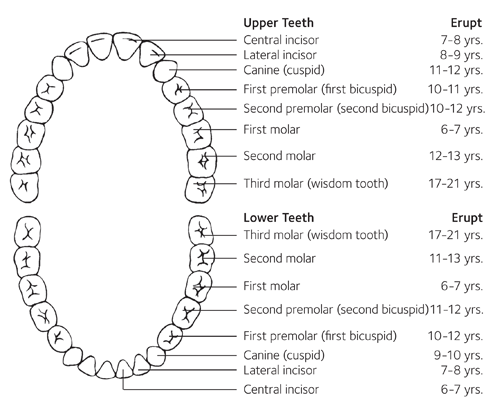 Baby teeth eruption charts american dental association